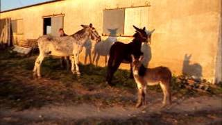Repeat youtube video Burro Rucio Andaluz segunda parte (cubriendo Añora) en Cordoba..wmv