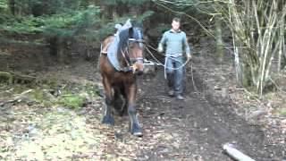 Trait comtois débardage en forêt Vosgienne