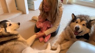WHEN MIA MET MILLIE | THIS HUSKY IS OBSESSED WITH BABIES
