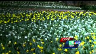 Daffodil Hill opens in Amador County