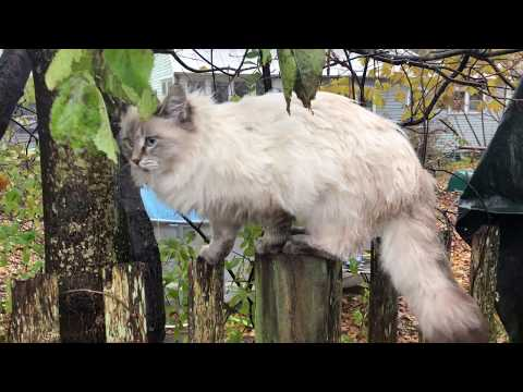 "Siberian Cat ""Onions"" on a fence in the rain! From Achy Dad in Vermont"