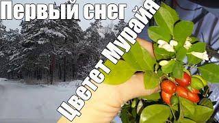 ❄️❄️ 543. 15 декабря СНЕГ в Волгограде  Мы на ЛЫЖАХ первый раз  Зацвела МУРАЙЯ ????????