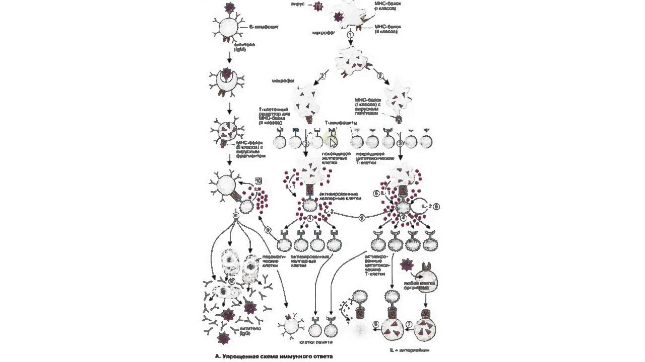 схема иммунный клеточный ответ