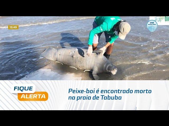 Peixe-boi é encontrado morto na praia de Tabuba, na Barra de Santo Antônio