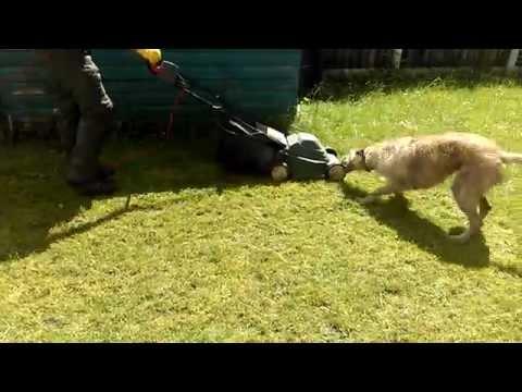 Deerhound Lurcher Attacks A Lawn Mower