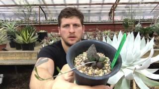 Размножение суккулентов листьями