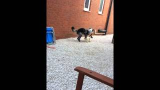Border Collie Vs Springer Spaniel Puppy Tug Of War