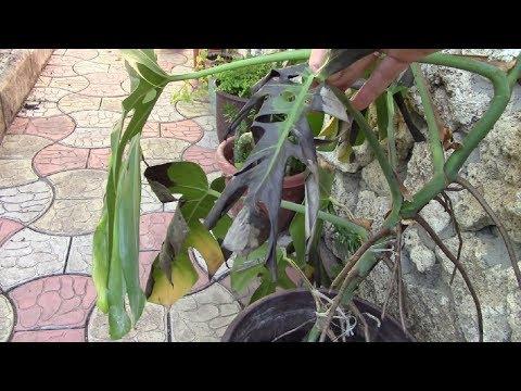 Монстера.  Спасаю растение! Фильм1.