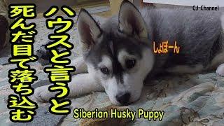 ハウスを促すと死んだ目で落ち込むシベリアンハスキーの子犬 はっちゃん...
