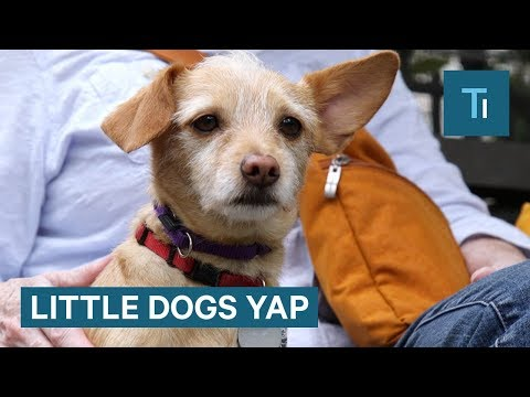 Why little dogs yap more than big dogs
