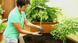 How to Plant Tomatoes - EB Stone