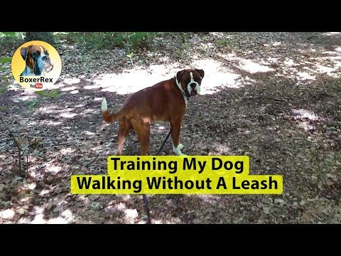 Training My Dog Walking Without A Leash