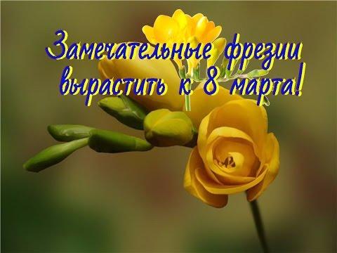 Фрезии.  Посадка луковиц фрезий.  Цветы к 8 марта!