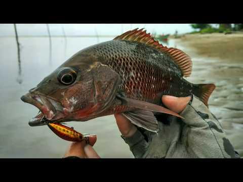 Ultralight Fishing Mangrove Jack Fish On With Storm Gomoku Minnow