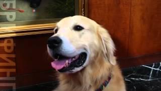 Американский клуб собаководства назвал самую популярную в США породу собак