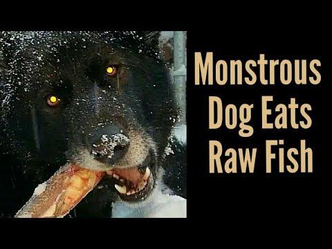 Recreational Bone Crunching - Monstrous Dog Eats Raw Fish (K9 Mukbang)