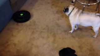 Roomba Meets Pug And Puggle
