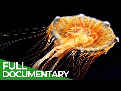 Vicious Beauties - The Secret World Of The Jellyfish   Free Documentary Nature