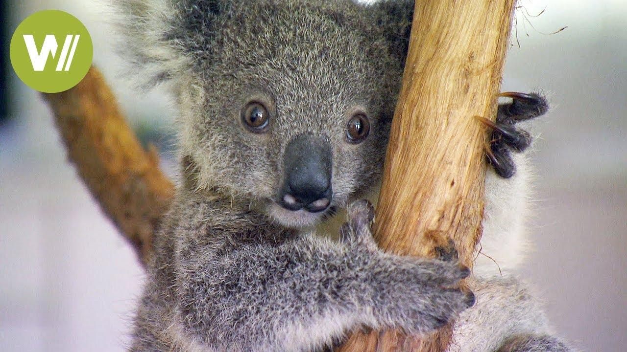 Cutest koala baby ever youtube - Pictures of koalas and baby koalas ...