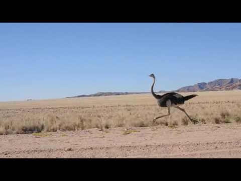 Ostrich at fullspeed