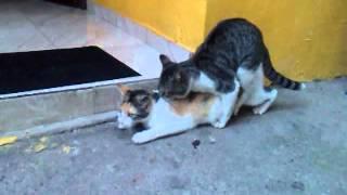 gatos haciendo el amor