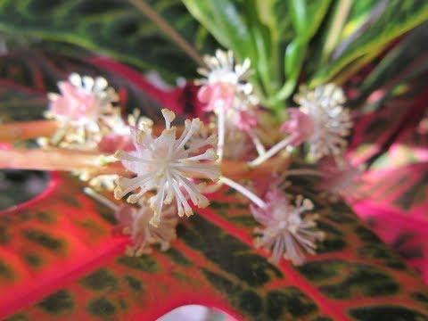 Цветение кротона (Кодиеум).