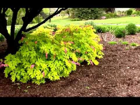 Best Perennials for a Shady Garden - Old Fashioned Bleeding Heart