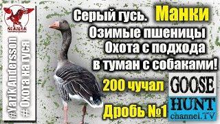 Охота на серого гуся на полях озимой пшеницы..Greylag goose hunting