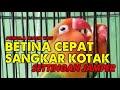Cara Cepat Lovebird Gacor Setting Jemper Dan Sangkar Kotak  Mp3 - Mp4 Download