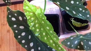 Begonia Maculata Propagation Update
