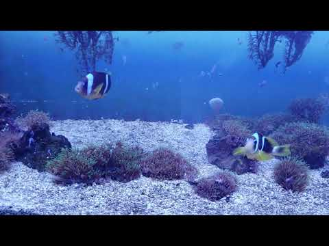 W14 TR Two Band Clownfish PAIR