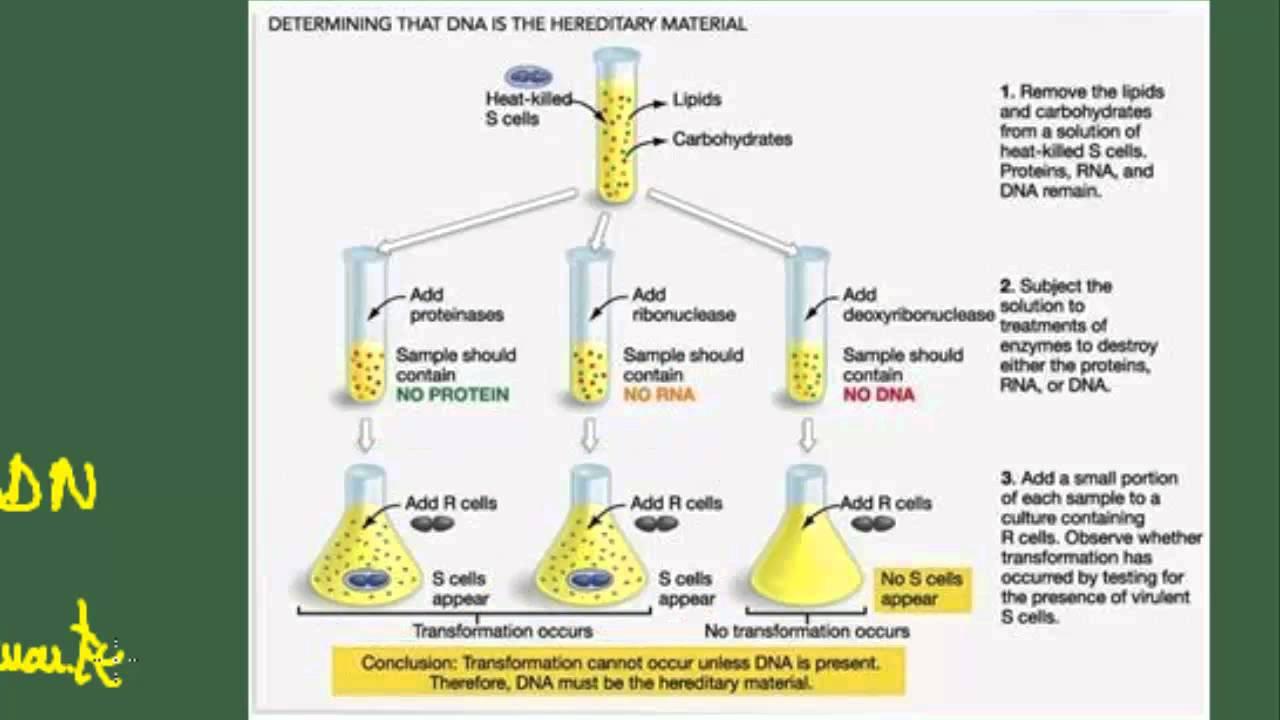 Biología 2 Bach Tema 6 ácidos Nucleicos Estructura Terciaria Adn Experimentos Del Adn