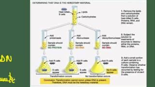 Biología 2 bach. Tema 6: Ácidos nucleicos. Estructura terciaria ADN. Experimentos del ADN