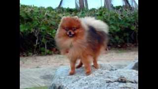My Pomeranian Kuma Growing Up!