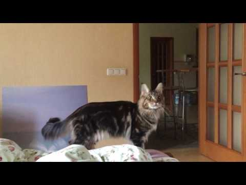 maine-coon games