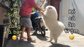 Vì sao chó Samoyed được nhiều người yêu thích?