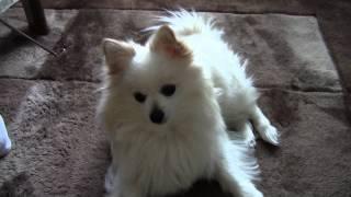 我が家の愛犬ポメラニアンのミミです。 えさ欲しさにごろんするのですが...