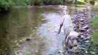 Bellamy Weimaraner Puppy, Creek Run