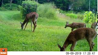 Doe (Odocoileus virginianus) and 3 fawns