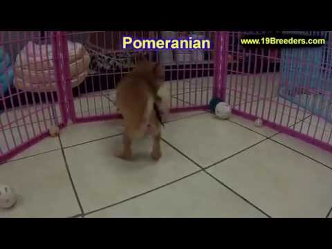 Pomeranian, Puppies, For, Sale, In, Indianapolis, Indiana, IN, Valparaiso, Goshen, Westfield, Merril