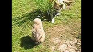 sokolnictwo użytkowe - imprinting puchacza - młoda Helga vel Hela
