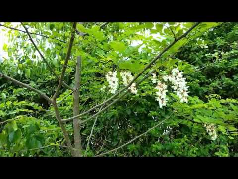 tree with white flowers in grape-like clusters
