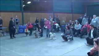 Manchester Dog Show Lowchen Judging