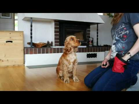 Training whit a cocker spaniel