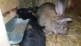 Hodowla królików pierwszy miot