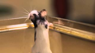 Все О Домашних Животных: Японская Мышь