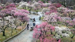 Ume - Japanese Flowering Plum Trees