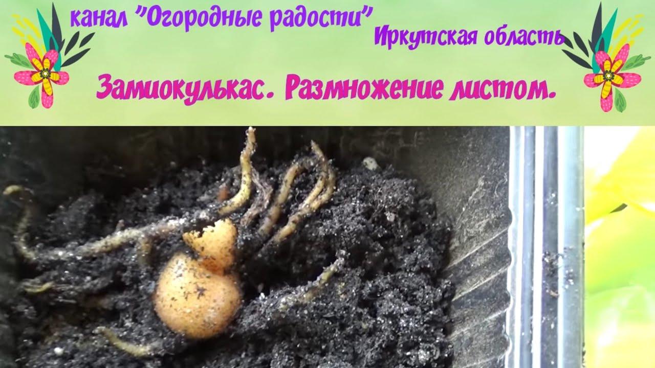 Замиокулькас,размножение листом