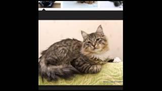 Коты сибирские.