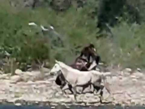 AZ Salt River Wild Horses sparring over a mare and foal